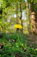 Yellow dandelion in the forest in spring
