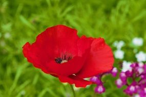 red poppy on a green flower meadow closeup