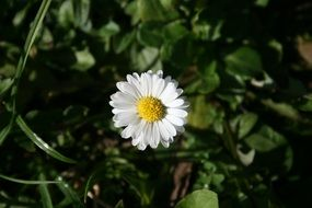 White Daisy Flower, top view