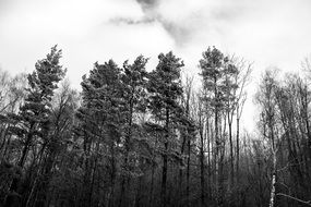 black and white photo of tall trees in a forest against a white sky