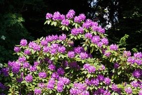 bush of purple rhododendron flowers