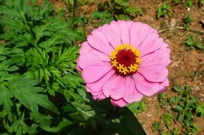 gentle Zinnia Flower