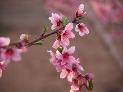 branches with pink flowers of almond tree