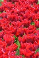 Tags Red Tulips