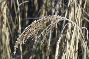 Winter Reed Bank Nature Wintry