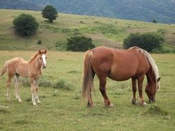 grazing Horse and red foal on meadow