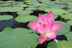 water lily as a bright water plant