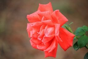 amazing Red Rose Blossom