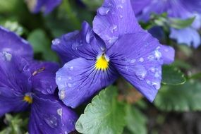 Pansy Blue Flower with rain drops