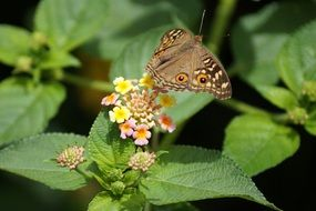 brown butterfly on a colorful inflorescence of a green plant