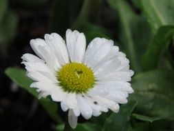 natural white daisy