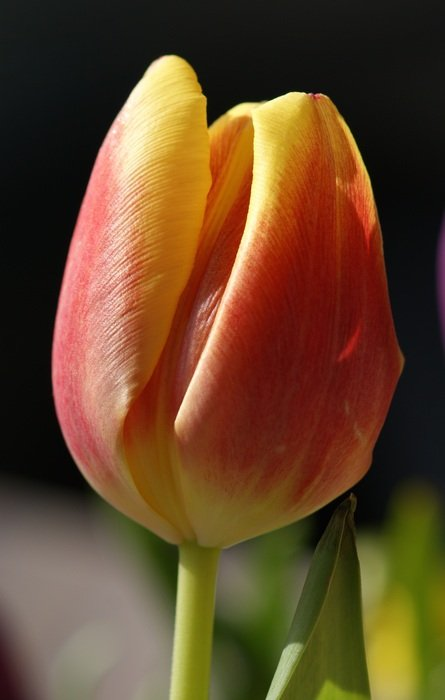 Yellow Tulip Red Flower Spring Close