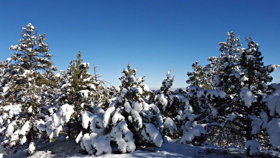 fluffy snow in a pine forest