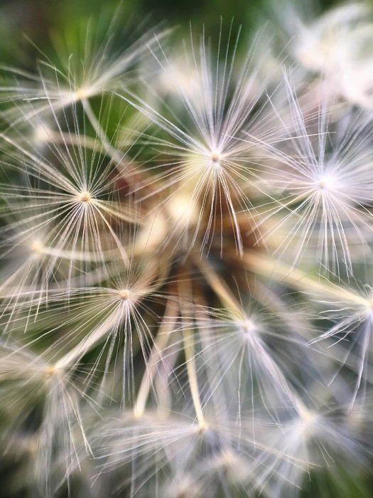 fluffy dandelion seeds close-up