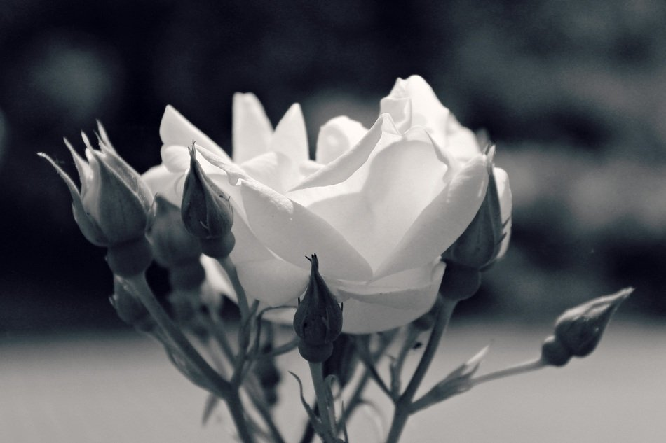 white rose flower blossom