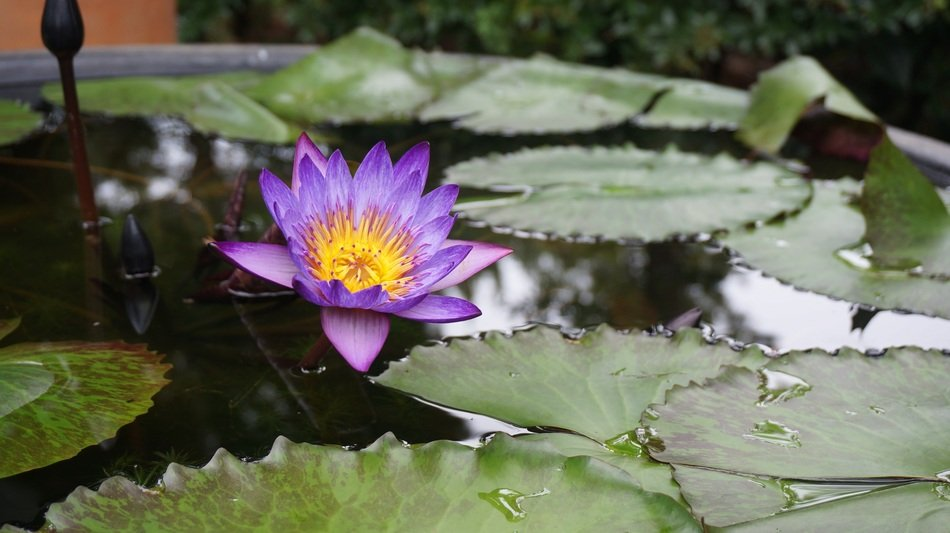 lotus aquatic plants
