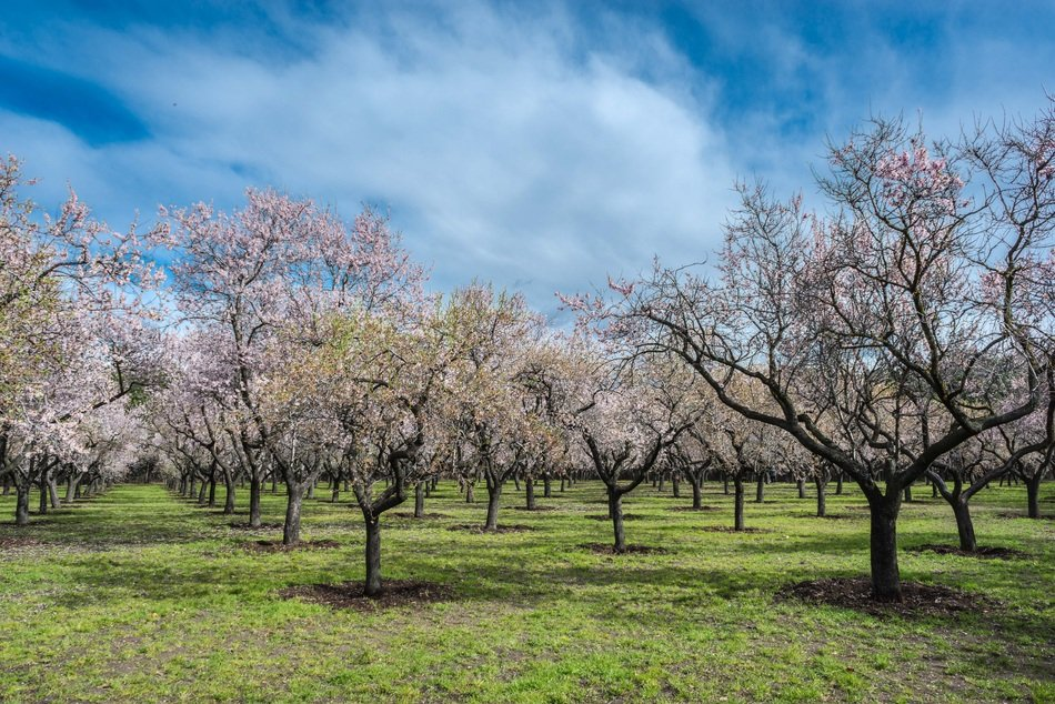 flowering almond trees on a sunny day