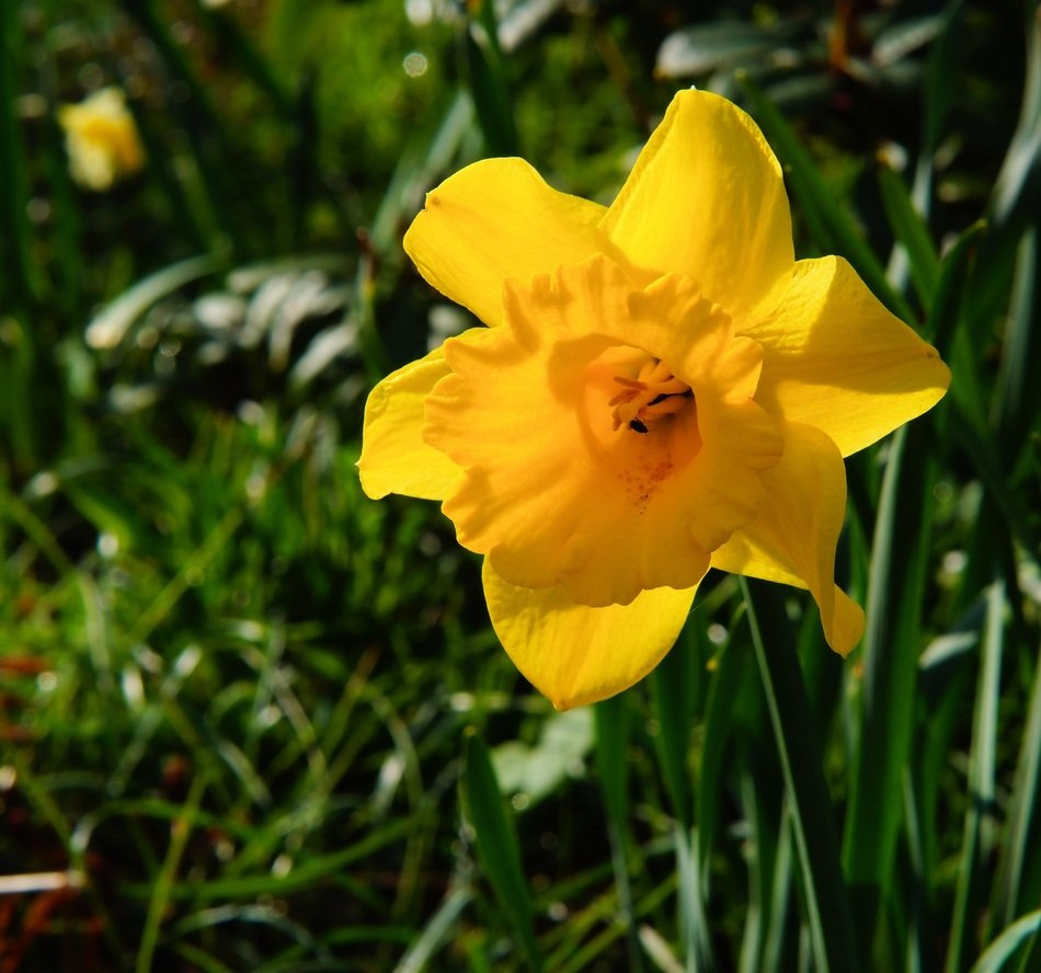 yellow daffodil among green grass close up