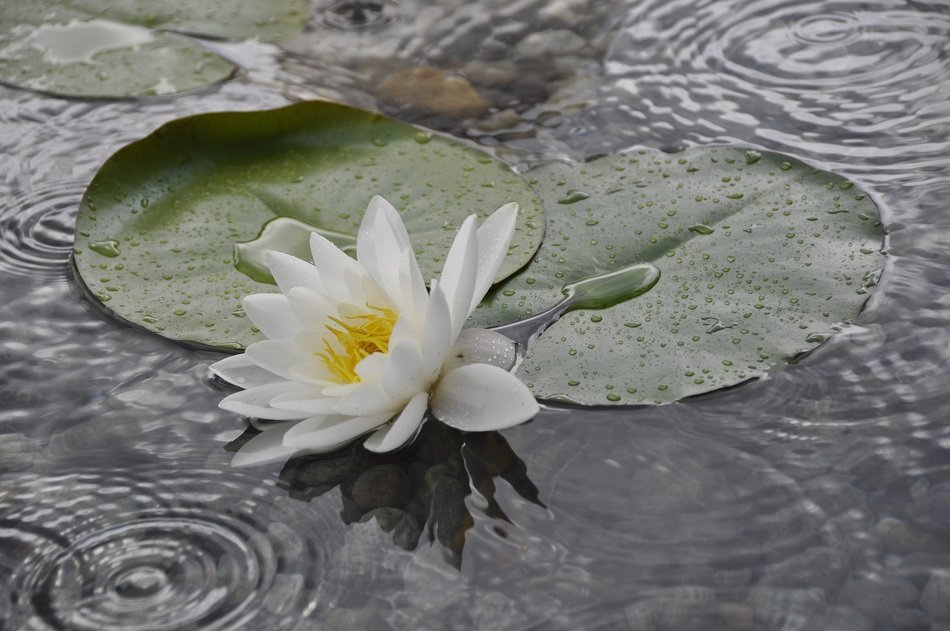 White Water Lily on Pond