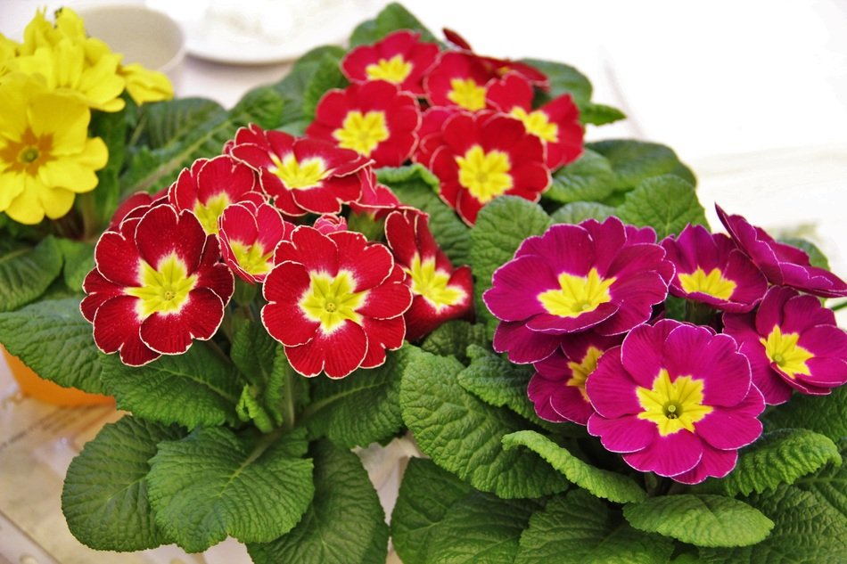colorful Primroses, blooming Potted plants