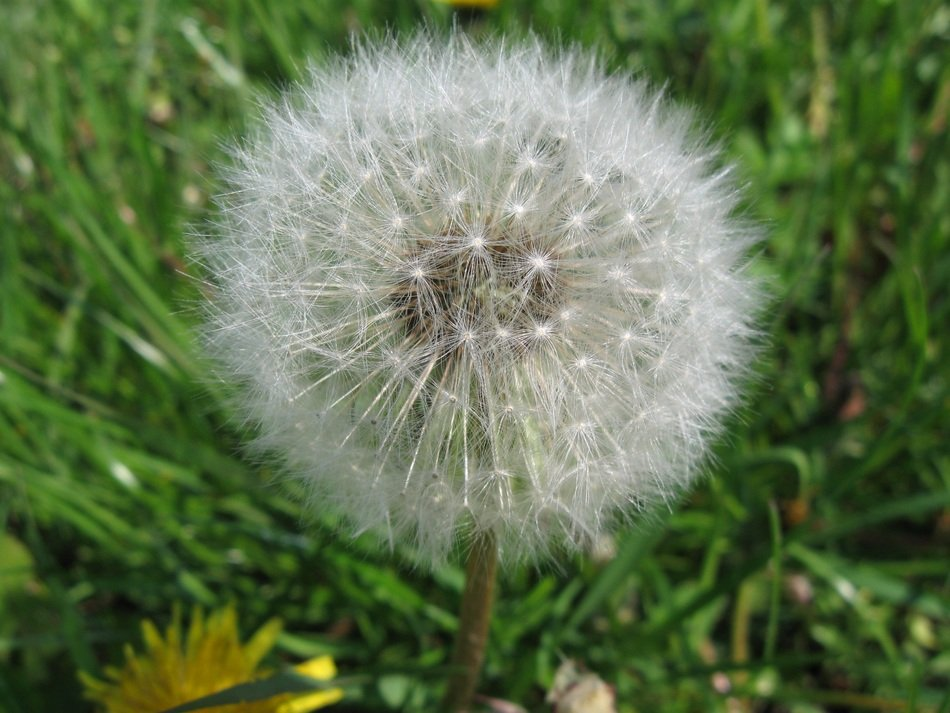 closeup photo of incomparable Dandelion plant