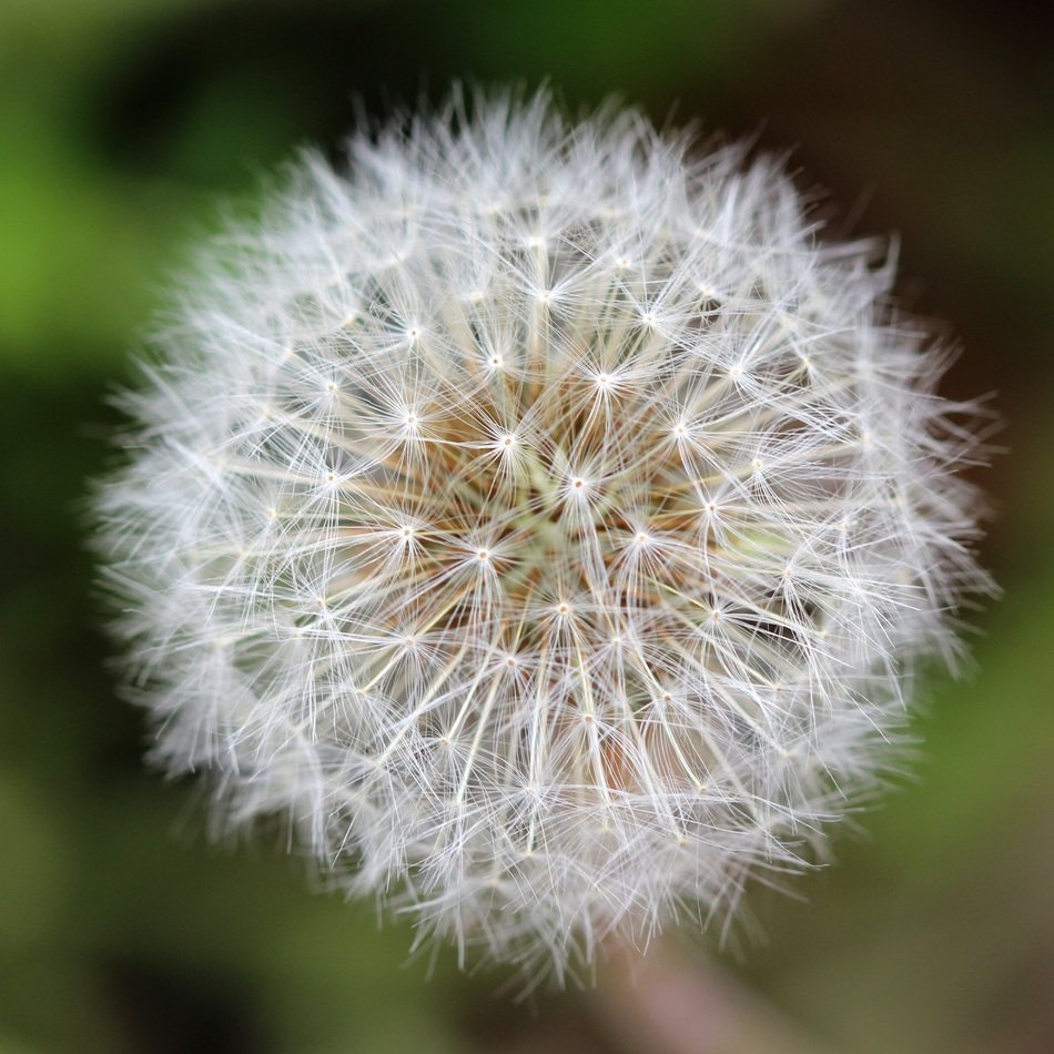 ball-shaped dandelion with white seeds close-up
