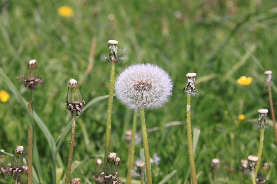 ball-shaped dandelion with white seeds in a meadow closeup