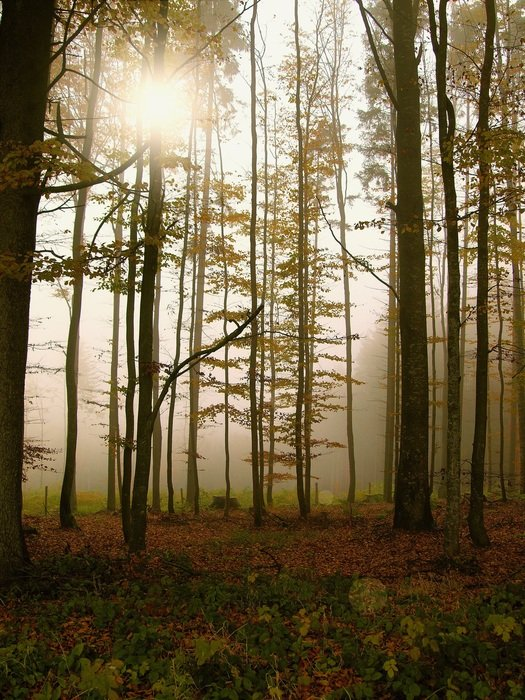 Sun rays in forest fog trees