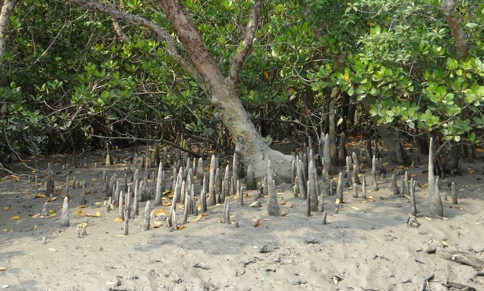 Cone Roots in Mangroves forest scene