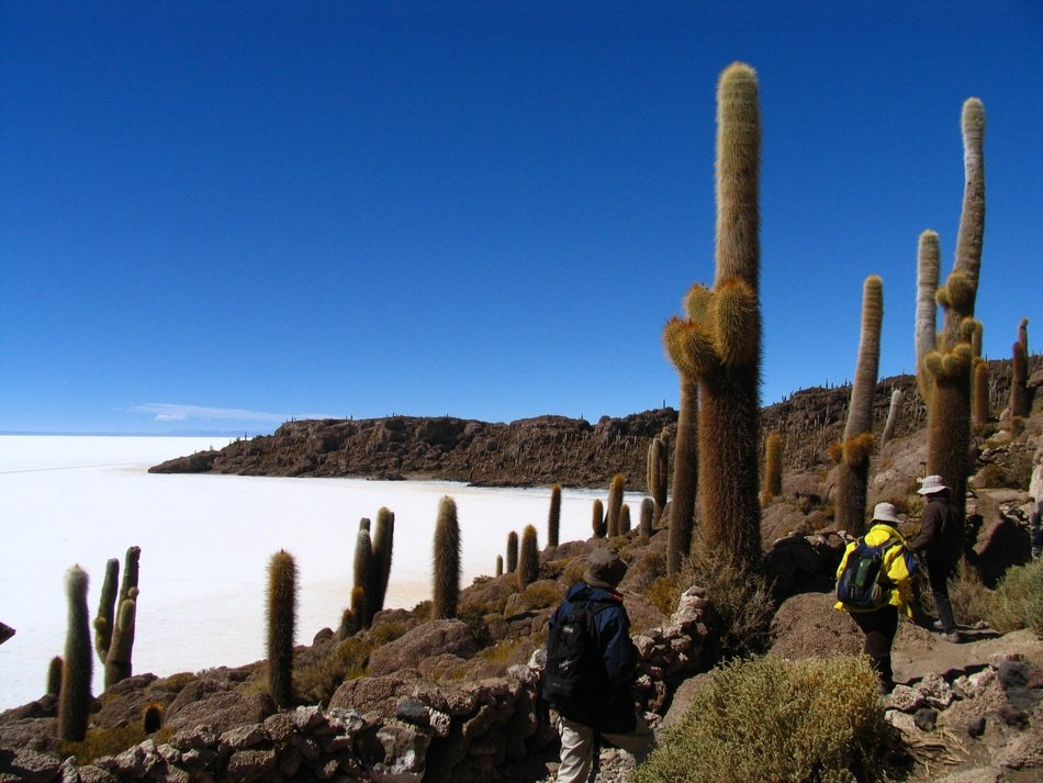 Landscape of tall cactus on a hill, bolivia