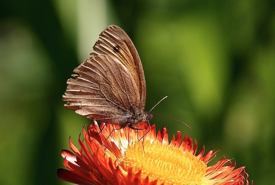 brown butterfly on immortelle flower