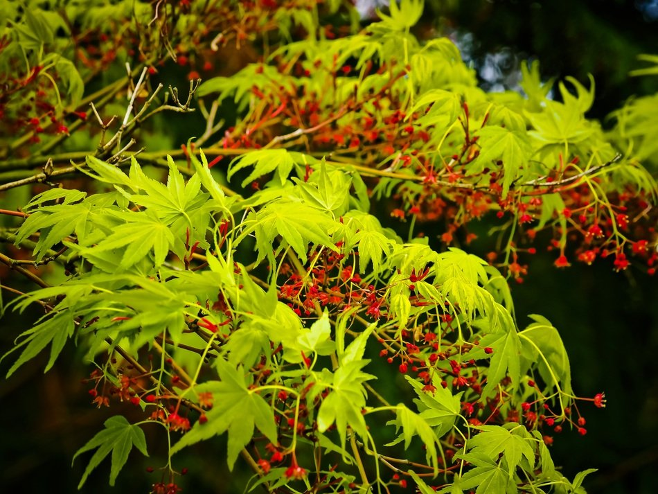 Japanese Maple, blooming Tree
