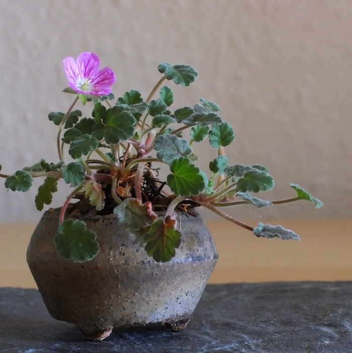 plant with a pink flower in a pot