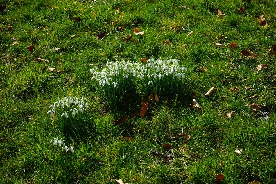 pleasing Snowdrop Clump Tufts