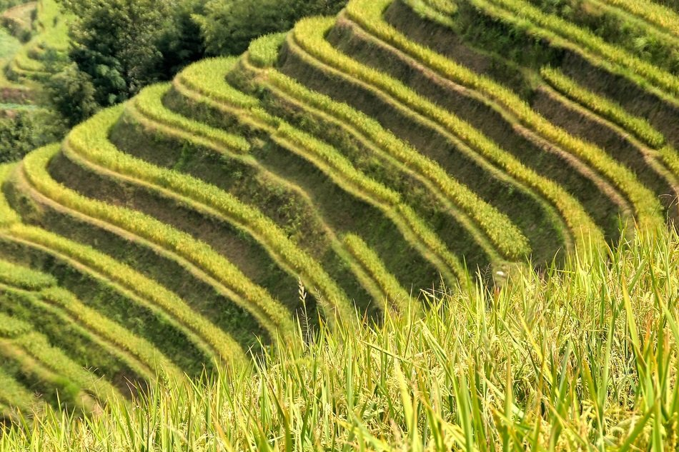 rice plantations of Asia
