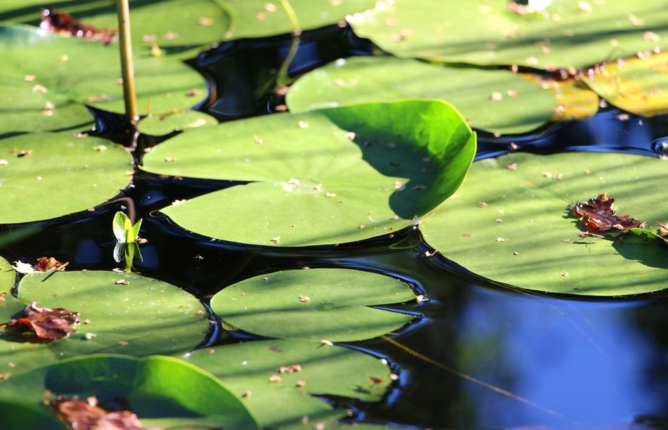 striking Water Lily Leaves