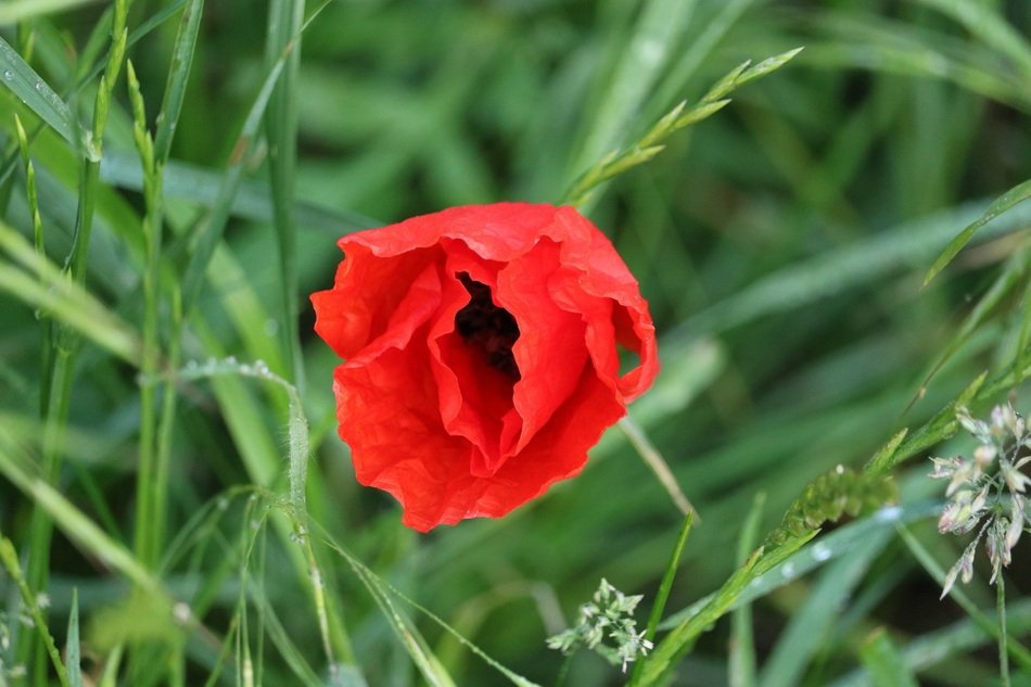 red poppy in green tall grass