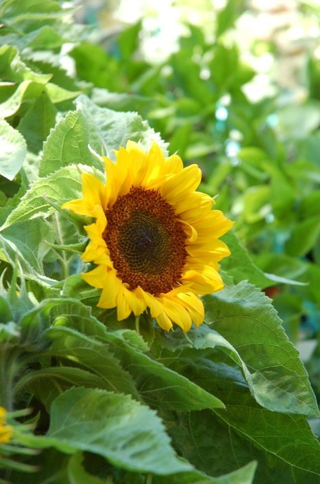 charming Sunflower Plant