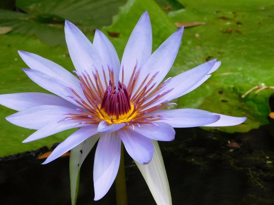 Blue water lily in nature
