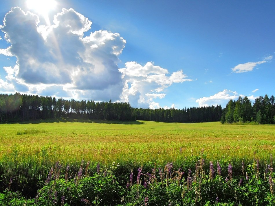 Field of green grass in North Karelia