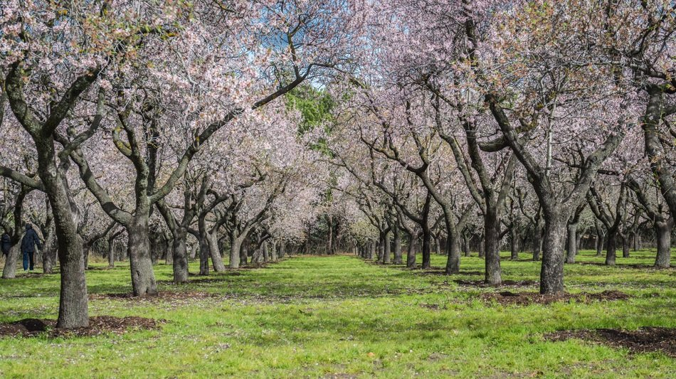 garden with flowering almond trees