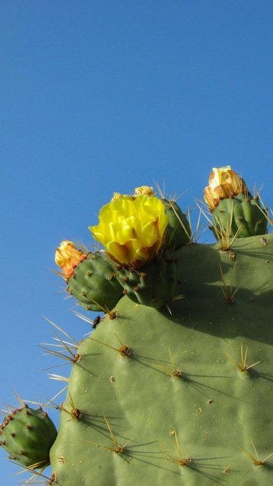 yellow flowers of cactus, cyprus, Ayia Napa