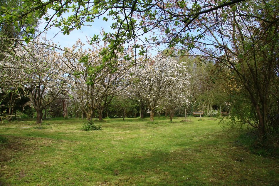 blooming Cherry Trees in Garden, spring Landscape