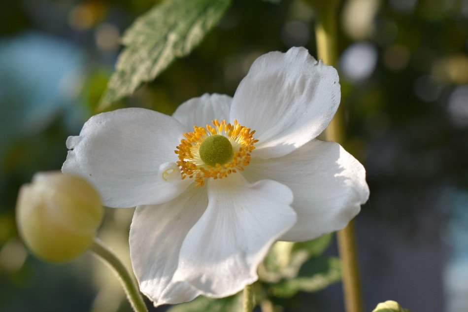 white anemone with buds closeup