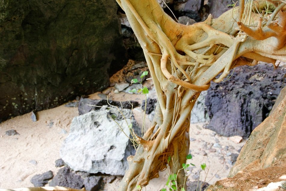 roots in mangroves