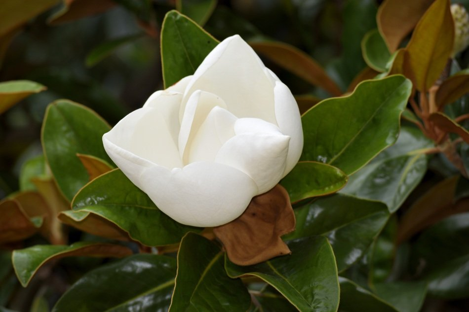 white blooming magnolia