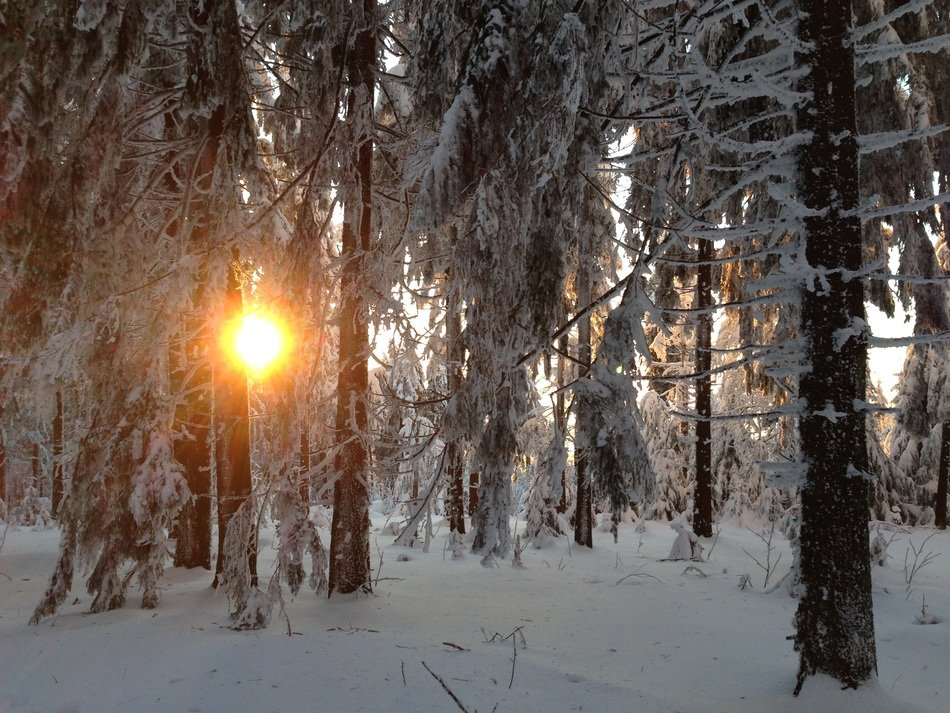 sun in winter forest trees