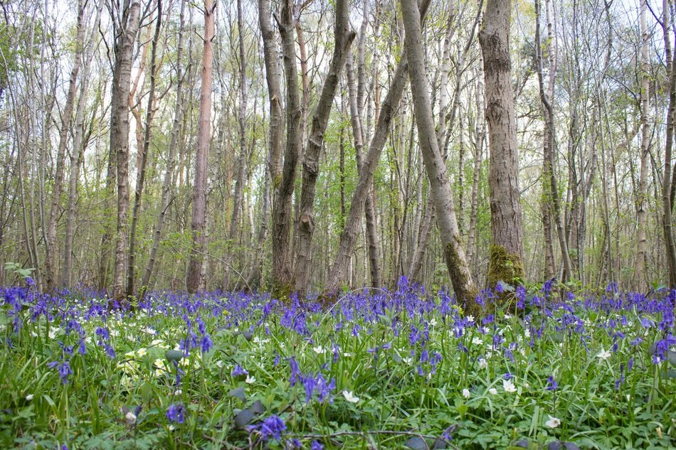 glade of blue bells in the forest