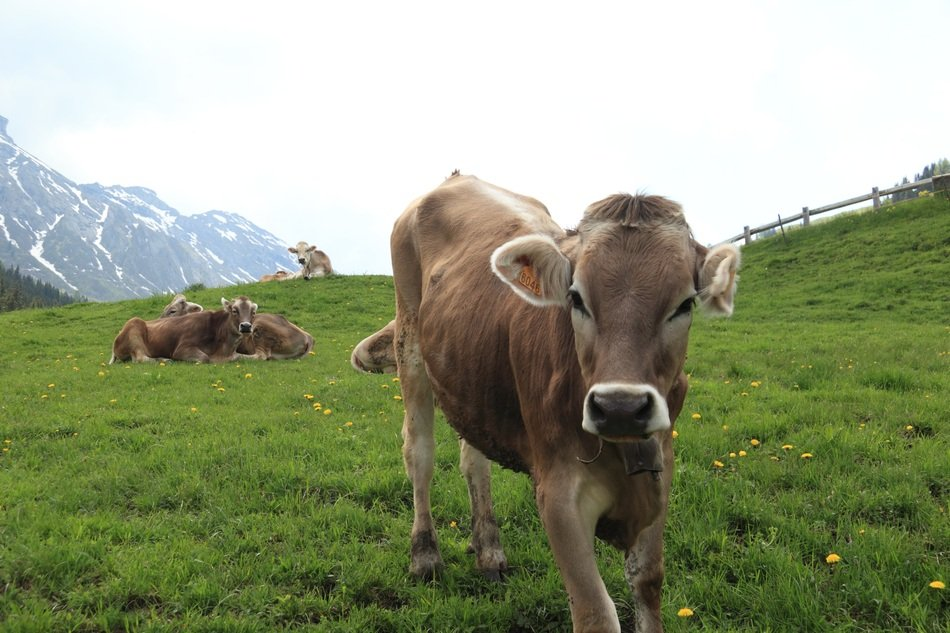 Italian Cow on mountain
