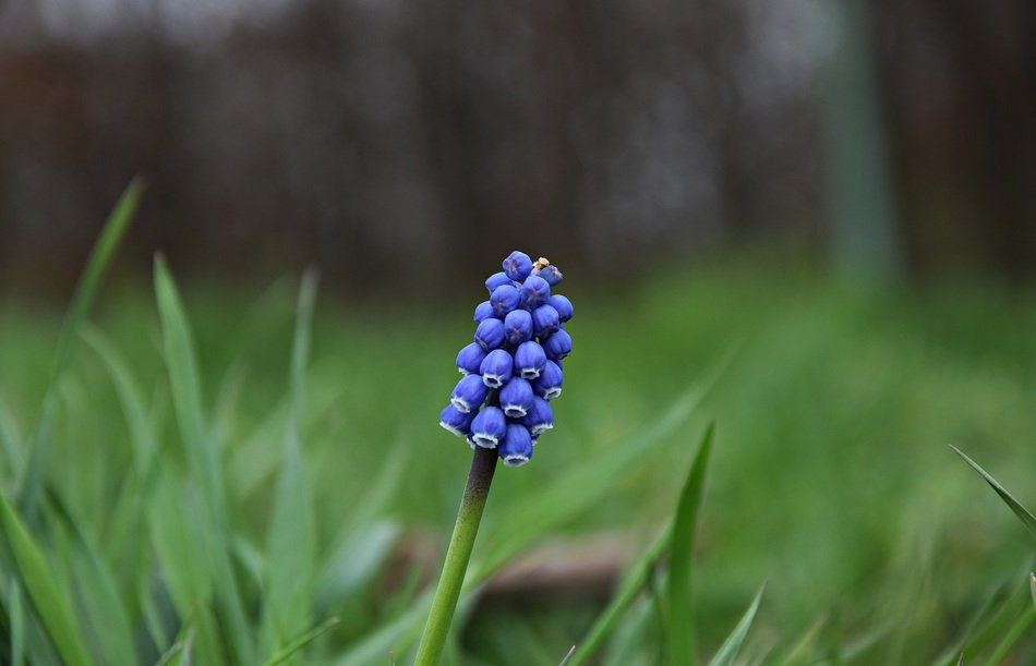blue flower in green grass close-up